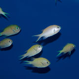 Group of Green/ Blue Chromis. The Blue Green Reef Chromis is easy to care for, beautiful, and peaceful. In fact, Chromis viridis is one of the preferred marine Stock Photos