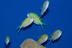 Group of Green/ Blue Chromis. The Blue Green Reef Chromis is easy to care for, beautiful, and peaceful. In fact, Chromis viridis is one of the preferred marine Royalty Free Stock Photo