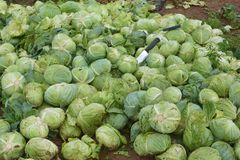 Group of green cabbages Stock Photo