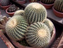 Cute sphere cactus Royalty Free Stock Images