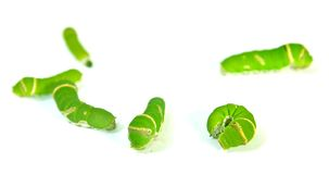 Group of Green caterpillar. Isolated on white Stock Photo