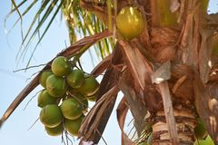 Group of green coconut. Hanging on palm tree in sunny day Stock Photos
