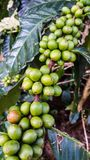 Group of  green coffee beans on tree branch. Coffee beans on a branch of tree in the garden Royalty Free Stock Photos