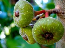 Group of Green Figs on a Tree. A group of three young green figs growing from a tree at Leu Gardens in Orlando, Florida stock images