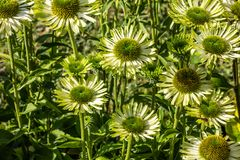 Group of green flowers of jewel Echinacea for alternative medicine. Group of green flowers of jewel Echinacea or coneflowers in closeup in perennial garden Royalty Free Stock Image
