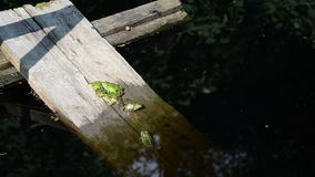 Group green frogs. Boards immersed in the water sitting in a group of little green frog stock video footage