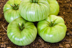 Group of green harvested tomatoes Royalty Free Stock Photo