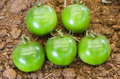 Group of green harvested tomatoes Royalty Free Stock Image