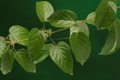 Group of green leaves Stock Photography