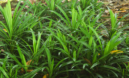 Group green pandan leaves or Pandanus amaryllifolius Stock Photo