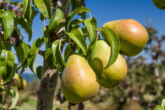 Group of green pears in an orchard Royalty Free Stock Photo