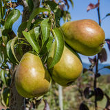 Group of green pears in an orchard Royalty Free Stock Image
