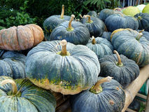 Group of green pumpkins Stock Photography