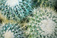 Group of green round beautiful cacti close up macro on blurred background top view, cactus texture with long sharp thorns stock photo