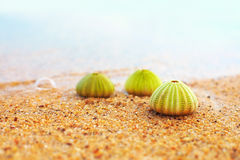 Group of green sea urchin shells on sandy beach Stock Image
