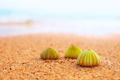 Group of green sea urchin shells on sandy beach Royalty Free Stock Photography