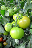 Group of green tomatoes Stock Image