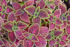 Group of green and  violet color coleus Royalty Free Stock Images