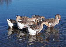 Group of grey domestic geese on lake Royalty Free Stock Images