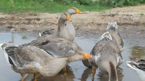 Group of grey geese are resting in rural puddle, summer day in village, hot weather stock footage
