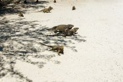 Group of wild iguanas in the wild. Group of grey wild iguanas in the wild Royalty Free Stock Image