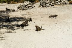 Group of wild iguanas in the wild. Group of grey wild iguanas in the wild Stock Images