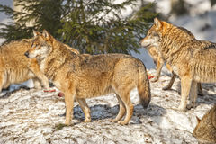 Group of Grey wolf on the snow background Royalty Free Stock Photos