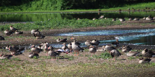 Group greylag gooses Stock Photos