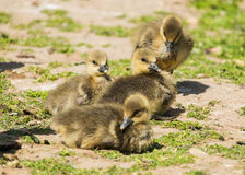 Group of greylag goslings Royalty Free Stock Photo
