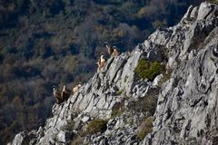 Group of Griffon vulture on the rocks stock images
