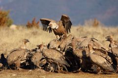 Group of griffon vultures eating royalty free stock photo