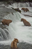 Group of grizzlies at Brook Falls, Alaska stock photos