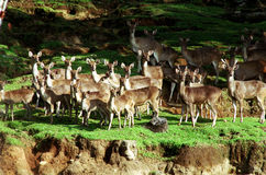 Group of grown deer Royalty Free Stock Photography
