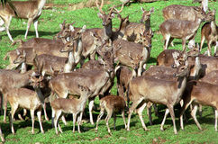 Group of grown deer Stock Image