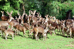 Group of grown deer Royalty Free Stock Photo