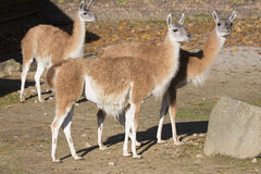 Group of Guanaco, Lama guanicoe Royalty Free Stock Photos