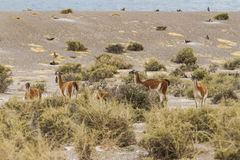 Group of Guanacos grazing bush Royalty Free Stock Photography