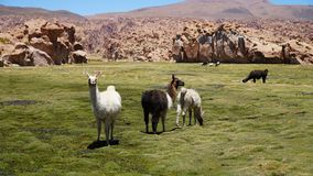 Group Of Guanacos Lama stock images