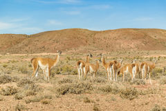 Group of Guanacos at Patagonia Landscape, Argentina Royalty Free Stock Photography