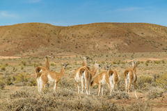 Group of Guanacos at Patagonia Landscape, Argentina Stock Photos