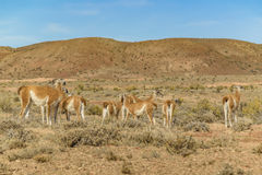 Group of Guanacos at Patagonia Landscape, Argentina Stock Photo