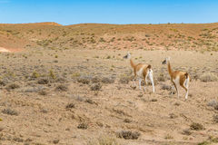 Group of Guanacos at Patagonia Landscape, Argentina Royalty Free Stock Image