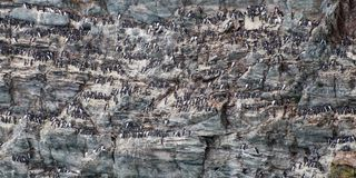 Guillemots nesting on a cliff face, Wales UK. A group of Guillemots nesting on a cliff face in Anglesey, Wales royalty free stock photography