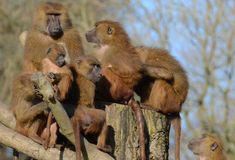 A Group of Guinea Baboons Stock Photography