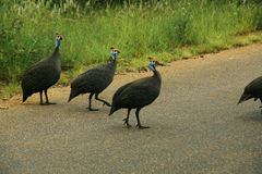 Group of Guinea Fowls Royalty Free Stock Images