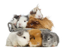 Group of guinea pig in a basket Stock Images