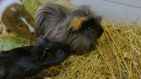 Group of guinea pigs stock video footage