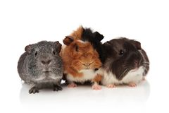 Group of guinea pigs with fur in different colors. Sitting on white background Royalty Free Stock Photos
