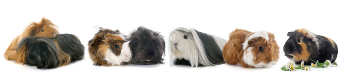 Group of guineal pigs Stock Photo