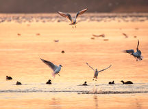 Group of gulls jumping at something in the water. Fun shot of gulls with golden glow of the sun Stock Photos
